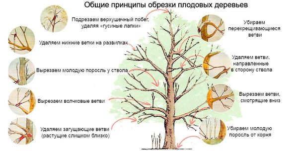 Принципы обрезки плодовых деревьев