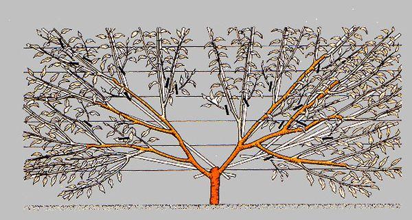 Веерная формировка дерева