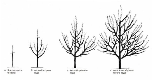 Схема обрезки плодового дерева