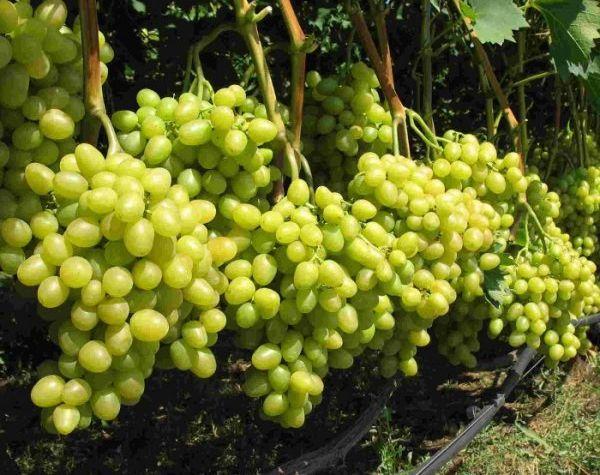 Сорт винограда Аркадия считается раннеспелым