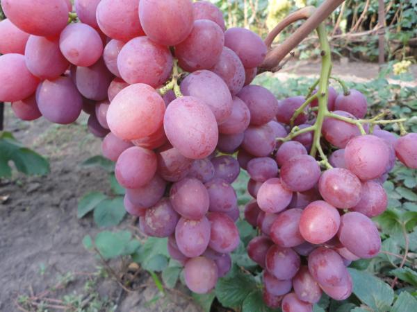 Винограду Анюта не свойственно горошение ягод