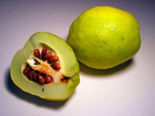 Айва японская: размножение и укоренение разными способами