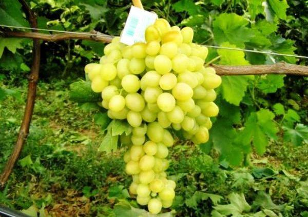 Виноград Аркадия имеет хорошую урожайность