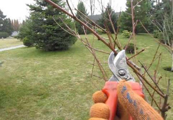 Формирование персика – это трудоемкий процесс