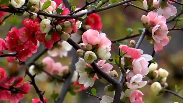 Во время цветения айва нуждается в обильном поливе
