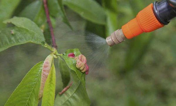 Обработать персик от курчавости желательно после цветения