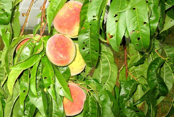 Клястероспориоз персика опасен для дерева
