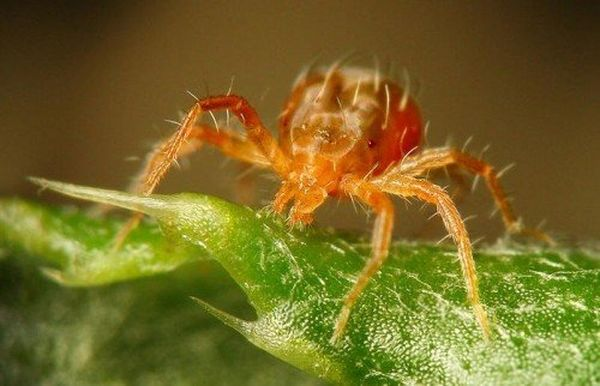 Клещи на персике напоминают пауков