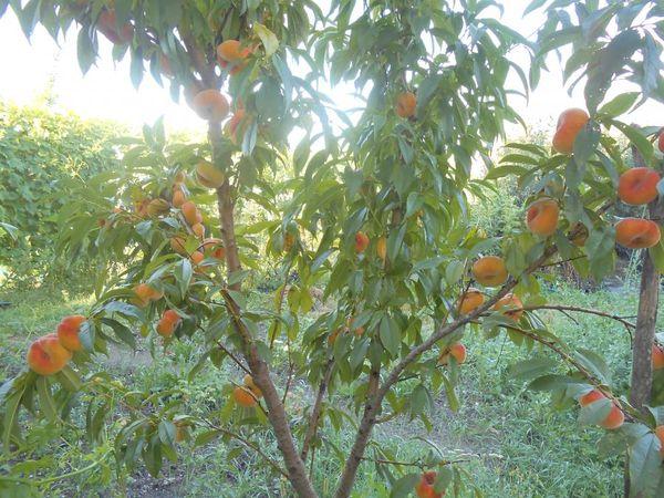 Дереву необходима осенняя и весенняя обрезки