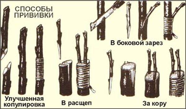 Существует несколько методов прививки персика