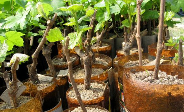 Укоренять виноград можно практически весь год
