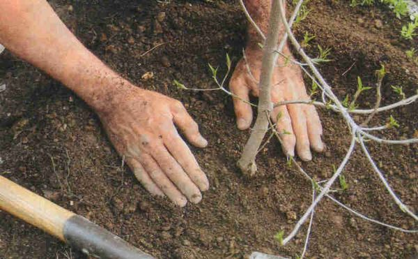 Сливу Ренклод можно высаживать исключительно весной