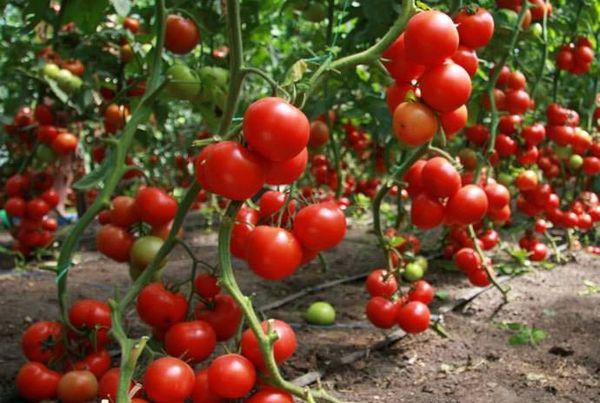 В период плодоношения томаты больше нуждаются в подкормке