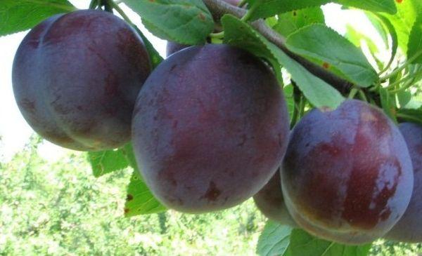 Средняя масса спелого фрукта составляет 50–55 г