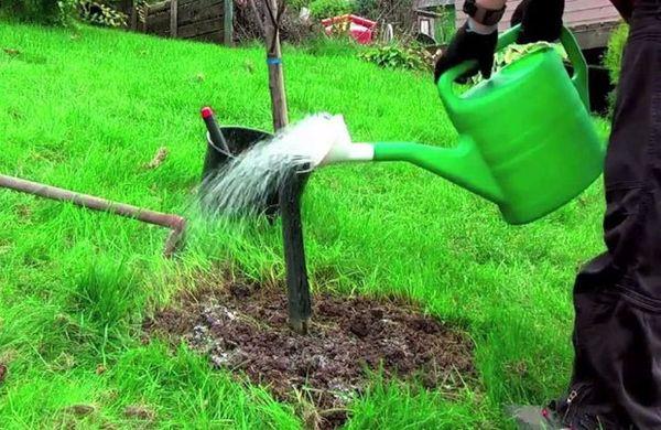 Молодые деревья нуждаются в более обильном и частом увлажнении