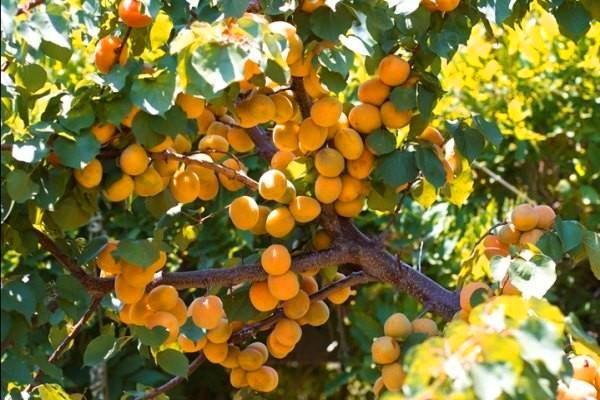 Абрикос – полезный и вкусный фрукт