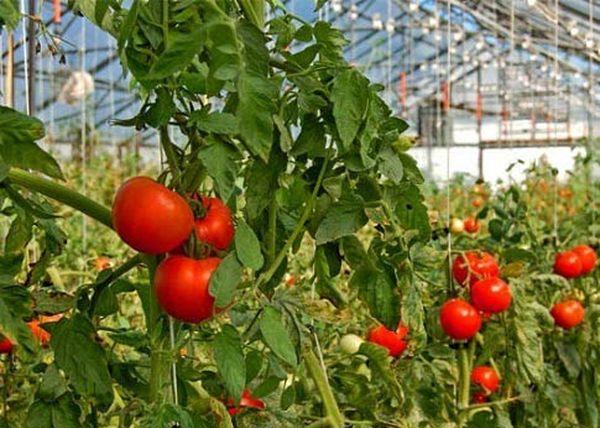 Тепличные помидоры рекомендуется подпитывать удобрениями 3–4 раза