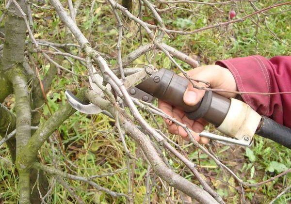 Обрезка персика весной не станет трудной задачей