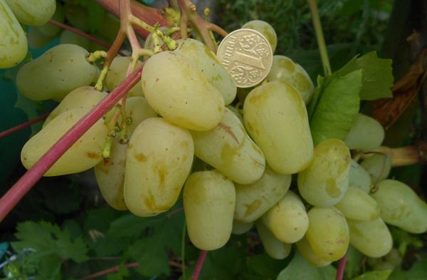 Гордей имеет грозди до 1.2 кг