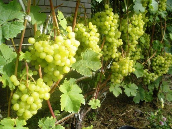 Данный тип винограда имеет среднюю степень защиты от болезней