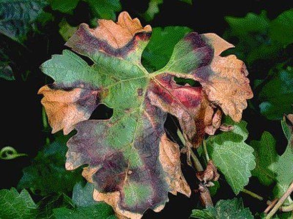 Некроз жилок листьев винограда