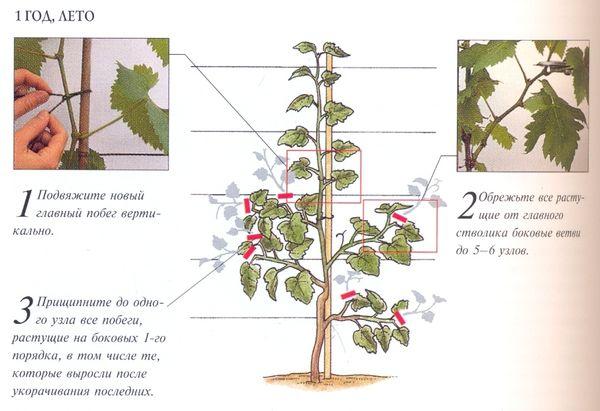 Схема формирования куста винограда