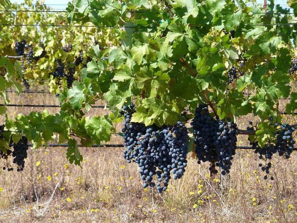 Сорт винограда Каберне Cовиньон