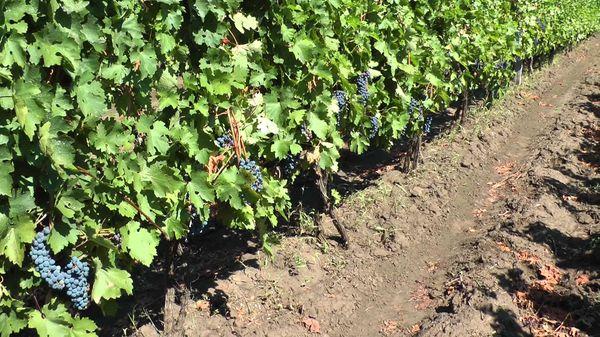 Виноград Каберне Cовиньон неприхотлив в уходе,