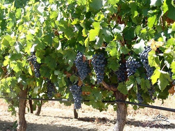 С гектара удается собрать 60-90 центнер винограда