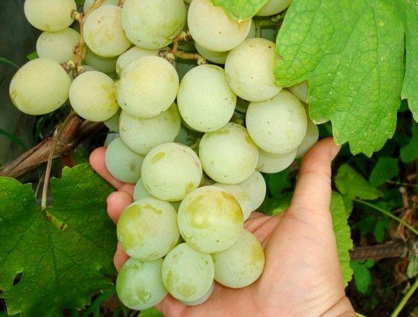Популярный сорт винограда Кеша