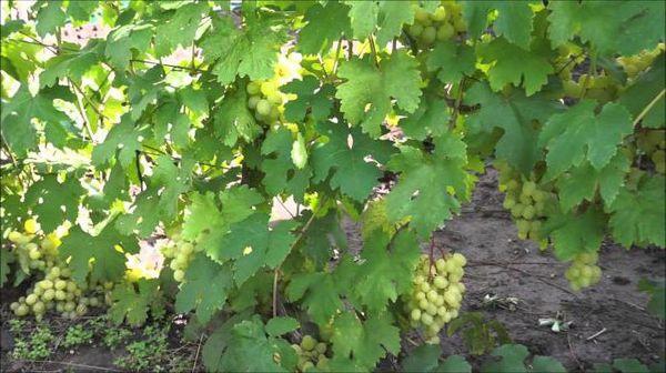 Средняя масса ягоды около 11 г, а грозди – 800 г