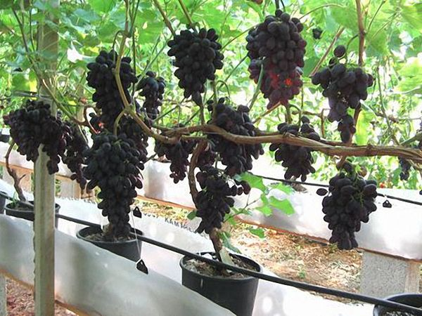 Средний вес грозди составляет 500–600 г