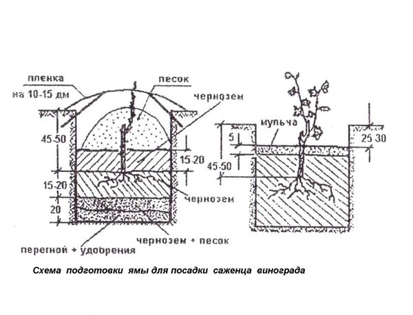 Схема правильной посадки винограда