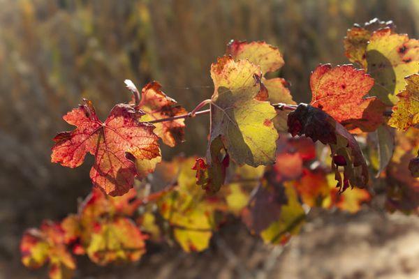 Неинфекционная краснуха винограда