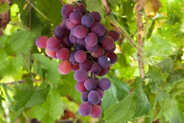 Популярный сорт винограда Лидия