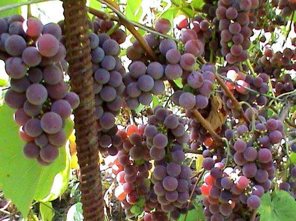 Достоинством сорта считаются вкусовые качества ягод