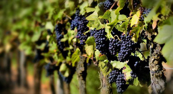 Садоводы часто высаживают очень ранние сорта винограда