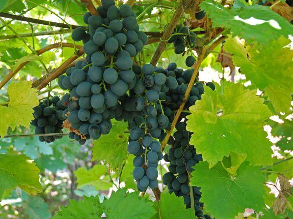 Популярный сорт винограда Молдова