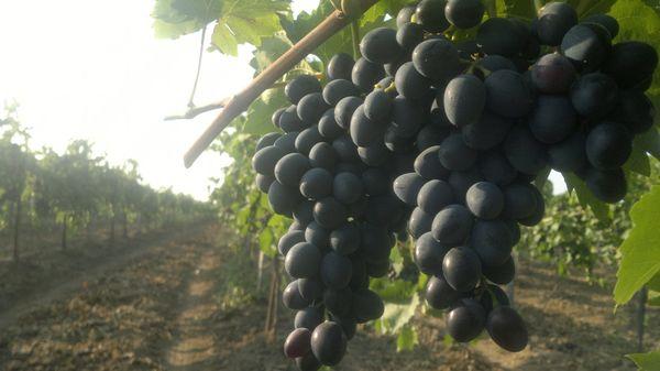 У сорта Молдова высокая урожайность