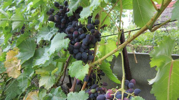 Каждая гроздь «Надежды» весит 0,6–0,8 кг