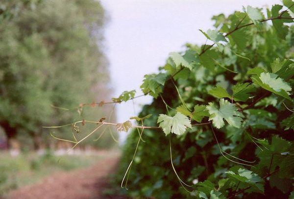 Безграмотная обрезка может привести к потере урожая