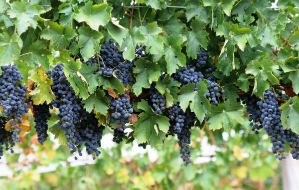 Сибирский виноград позволяет получать хороший урожай