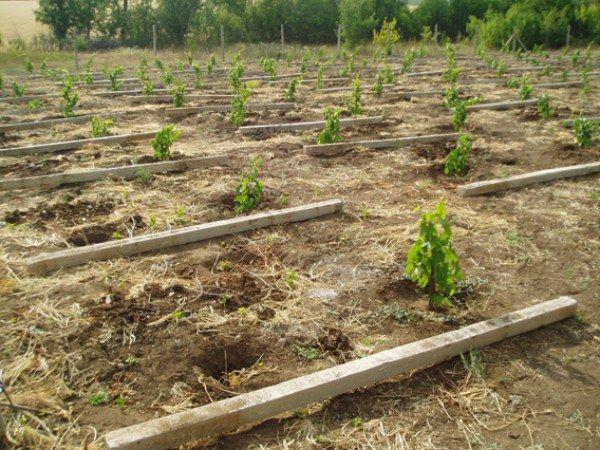 Выбор участка для посадки винограда