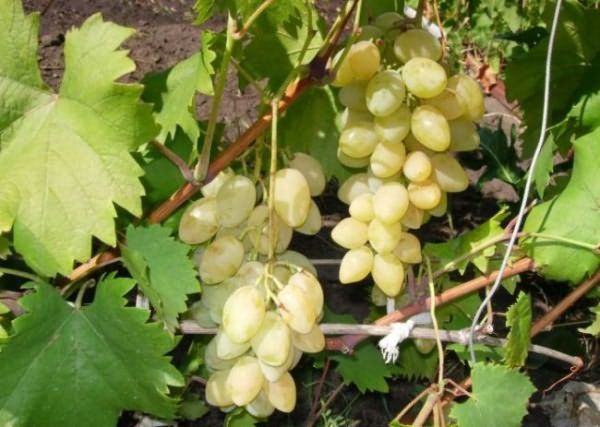 Виноград столового назначения