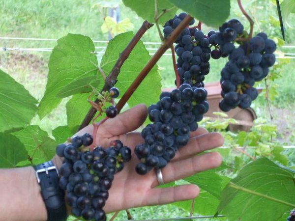 Технические – самые урожайные сорта винограда