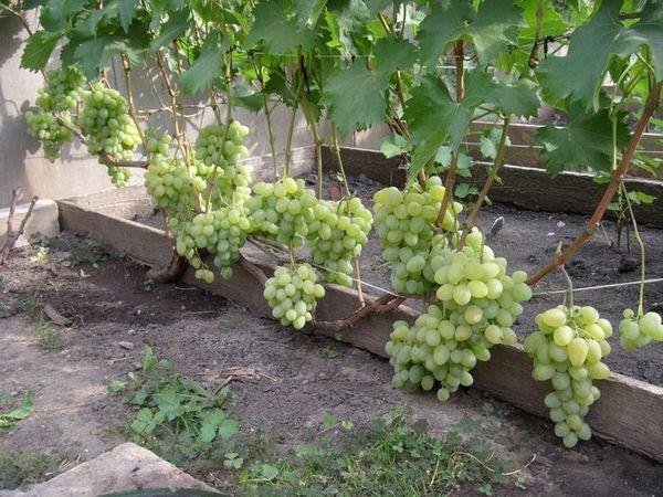 Средние сорта отдают урожай немного позже ранних - 120–130 суток
