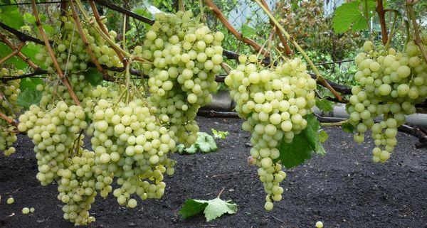 Популярная разновидность винограда Супер Экстра