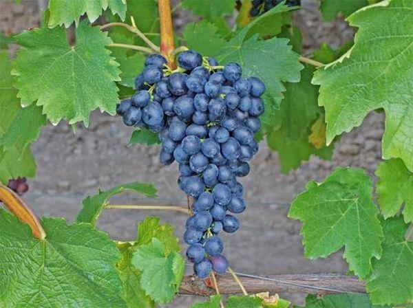 Виноград Вэлиант – универсальный сорт