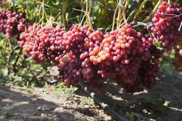 Популярный сорт винограда Велес