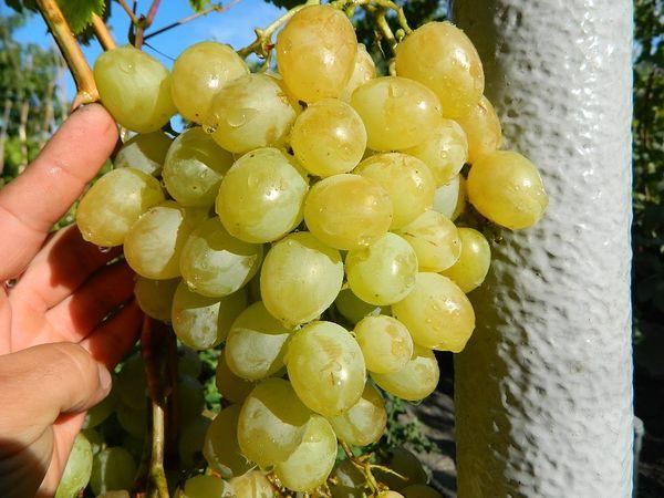 Белые винные сорта неприхотливы и дают много сока